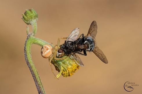 Doble de mosca