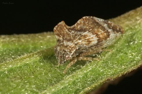 Entylia sp.