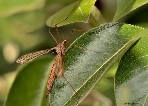 Supermosquito