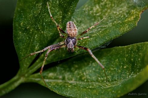 Metepeira spinipes