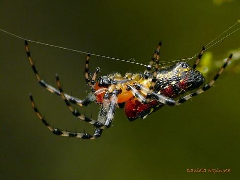 Araña Misionera