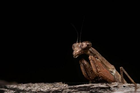 Mantis religiosa - Thespidae sp