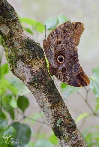 Mariposa Búho