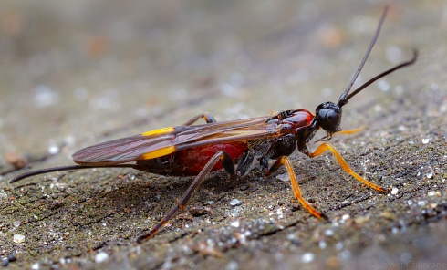 Avispa Par�sito (Braconidae)