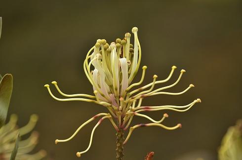 Flor en Ingapirga