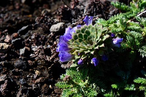 Floración en Copahue, Neuquén