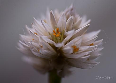 Flor de Yuyo!