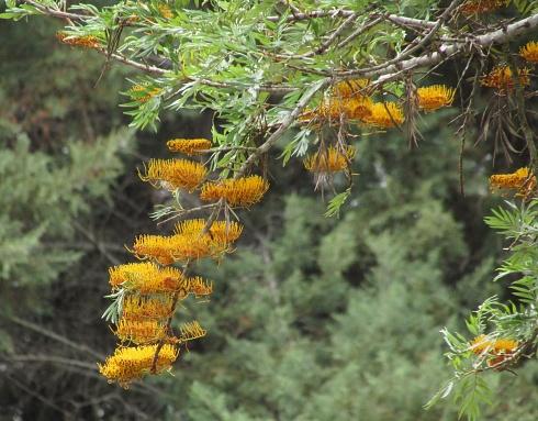 Flores de Grabilea