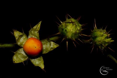Flor de fruto