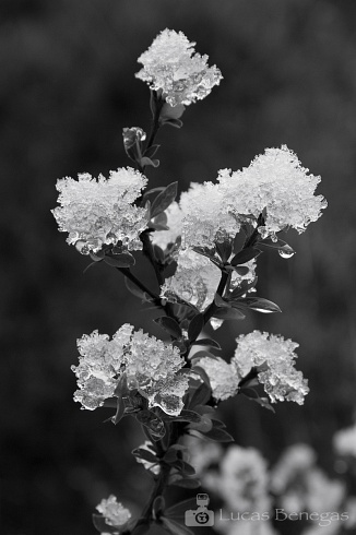 Copito en flor