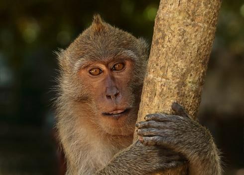 Mono tailandés