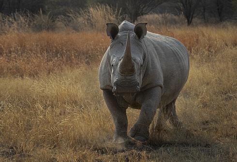 Rinoceronte Blanco del Sur (Ceratotherium simum simum)