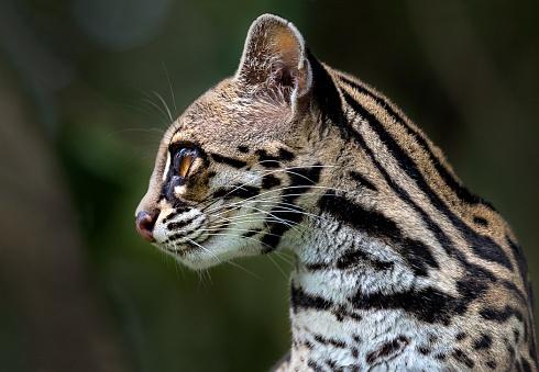 Retrato de Margay (Leopardus wiedii)