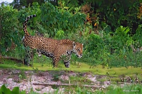 O Rei do Pantanal marca��o territ�rio...