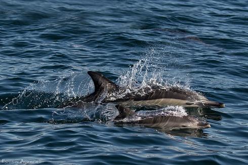 No solo de aves …. Delfín Común (Delphinus delphis)