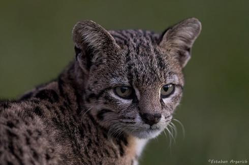 Gato mont�s - Oncifelis geoffroyi