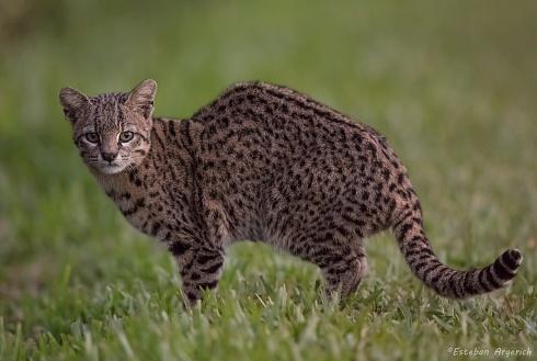 Gato montés - Oncifelis geoffroyi