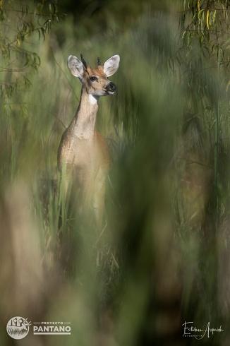 Joven ciervo en el Delta del Paran�