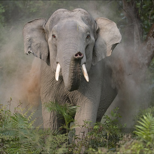 La carga del elefante