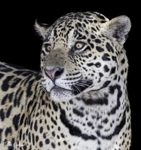 Retrato de yaguaret�