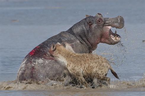 La batalla de Amboseli