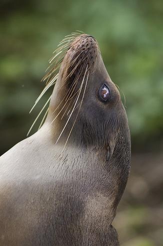 Lobo Marino de Gal�pagos