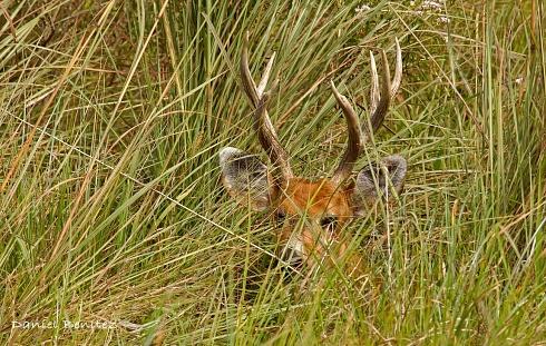 Modo Hide - Ciervo de los pantanos