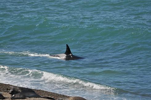 Orca patrullando