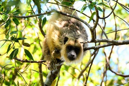 Mono vigilando