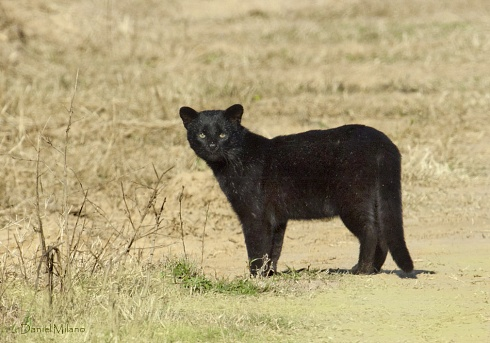 Gato montes melanico