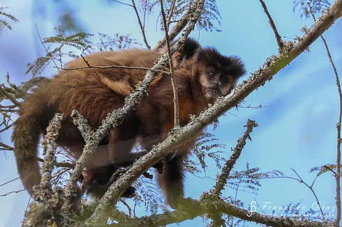 Mono Cai con su cria