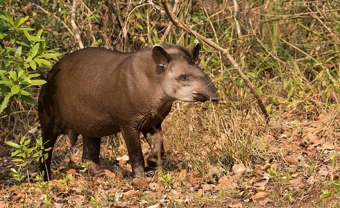 Tapir   otra  belleza  del Pantanal