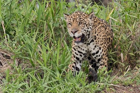Onca   El rey del Pantanal