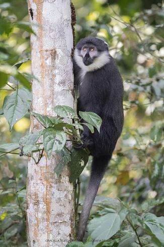 L�Hoest�s Monkey