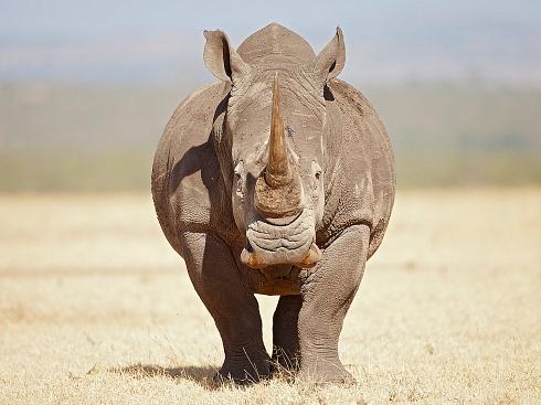 Rhinoceros - Kifaru
