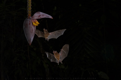 Murci�lago nect�voro Glossophaga Soricina