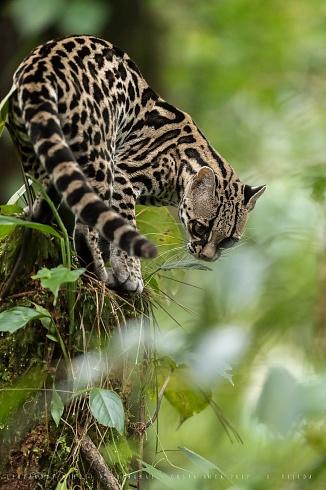 Leopardus wiedii nicaraguae