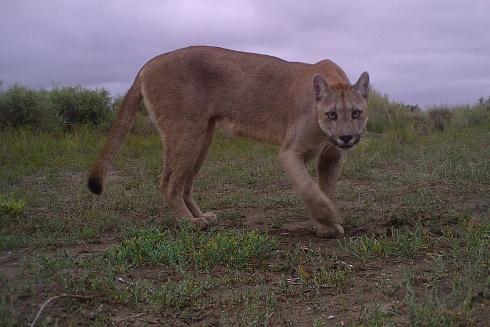 Puma del sur de Buenos Aires