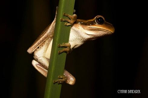 Hypsiboas pulchellus