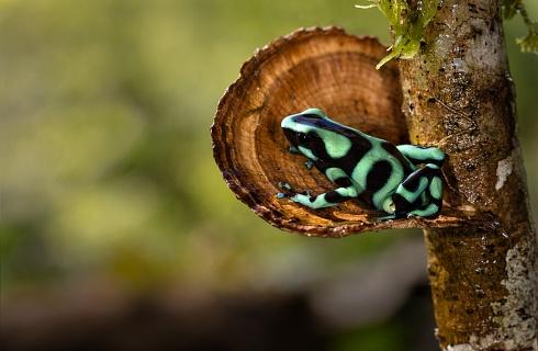 Rana Venenosa Verdinegra o Rana Flecha Verde y Negra (Dendrobates auratus)