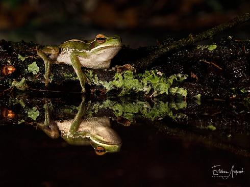 Receta - Ranita del Zarzal (Hypsiboas pulchellus; White-banded Tree-frog)
