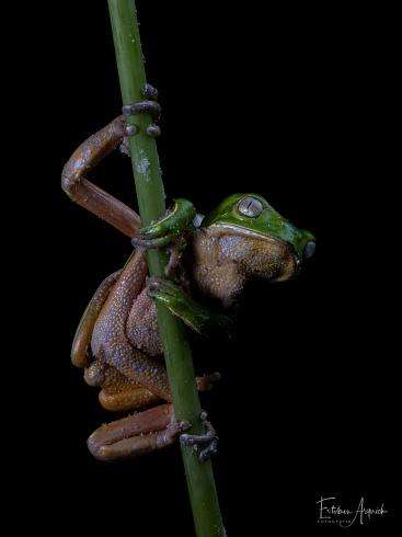 Rana Mono Misionera (Phyllomedusa tetraploidea)