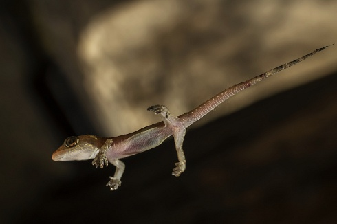 Gecko volador?