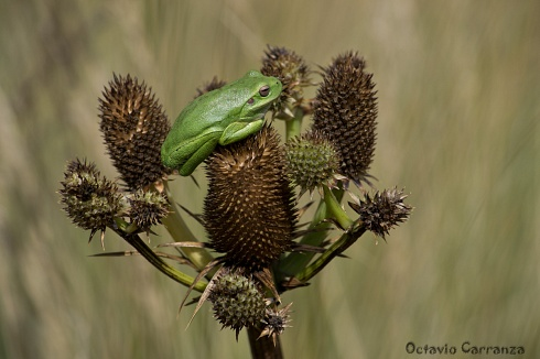 Ranita verde de Achala (Dedicada a Fede Villegas)