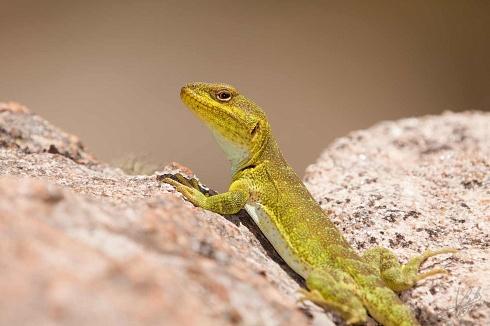 El lagarto achale�o