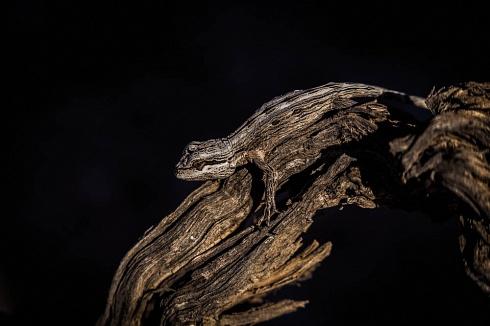Mimetismo (Leiosaurus Paronae)