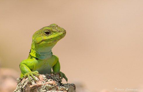 Peque�o Godzilla  o Lagarto Verde de Achala