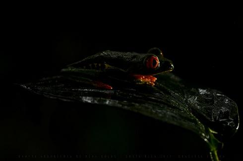 Ranita de ojos rojos